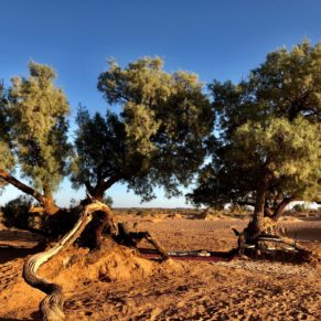 Wüstenbaum